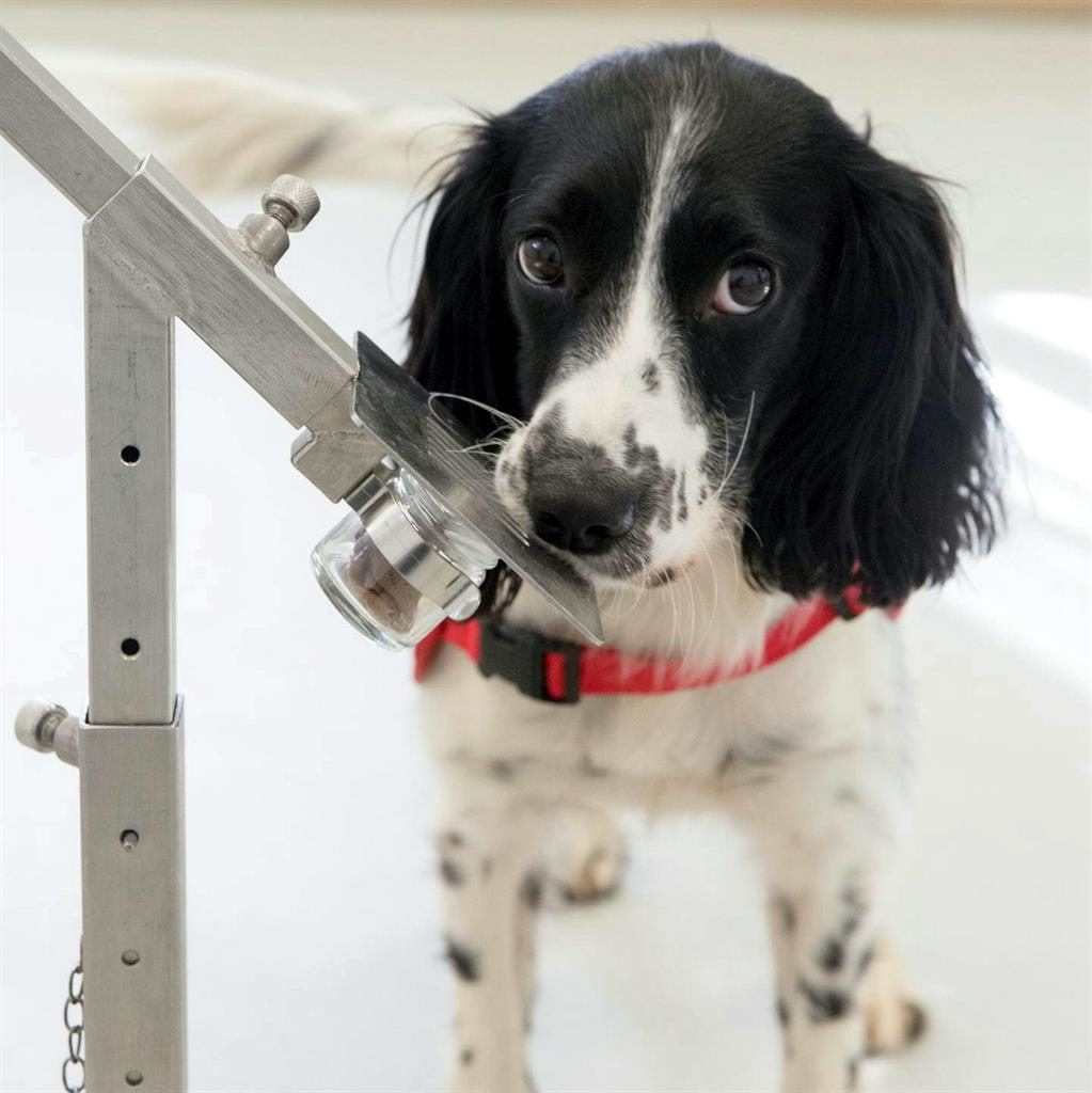 Smelly good: Dogs are being trained to detect the scent of malaria PICTURES: SWNS