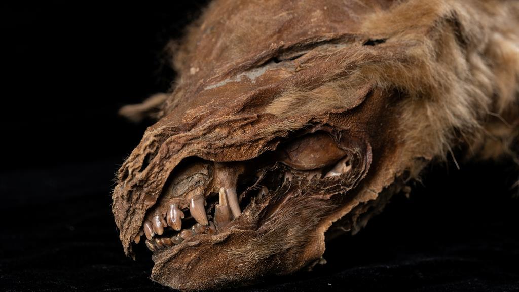 57000-Year-Old 'Wolf Mummy' Found In Canada | KFI AM 640