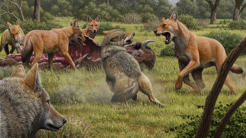 Canine cousins: An artist's impression of a pack of dire wolves feeding on their bison kill, while a pair of grey wolves approach in the hopes of scavenging PICTURE: MAURICIO ANTON/NATURE/PA